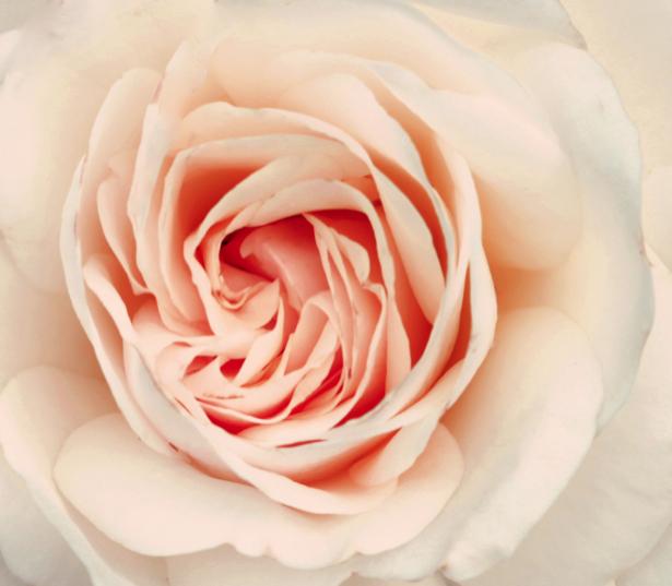 Фотообои на стену цветы -  Белая роза (flowers-0000261)