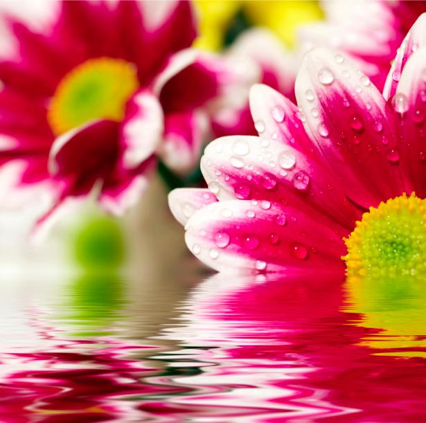 Обои фото Красные герберы в воде (flowers-0000316)
