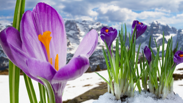 Фото обои цветок фиолетовые крокусы (flowers-0000410)