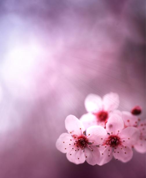 Обои фото ветка цветущего дерева (flowers-0000423)