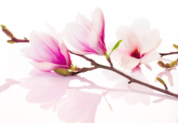 Комнатные обои цветущая ветка магнолии (flowers-0000491)