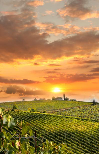 Фотообои виноградник на закате (nature-0000632)