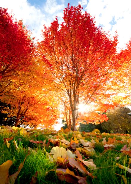 Фотообои пейзаж красное дерево (nature-00069)