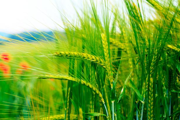 Фотообои пшеница в поле (nature-00437)
