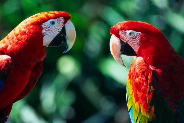 Фотообои попугаи беседуют (animals-0000114)