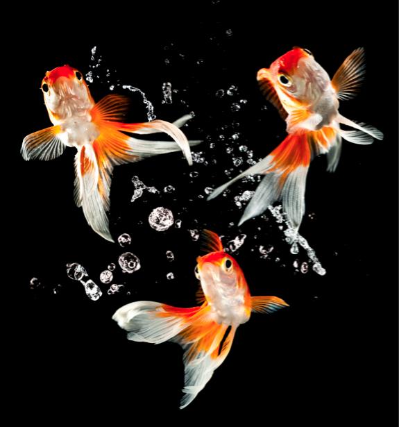 Фотообои золотая рыбка на черном (animals-0000218)
