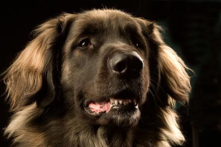 Фотообои собака Леонбергер (animals-0000237)