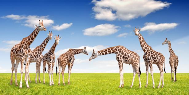 Фотообои жирафы в поле (animals-0000355)