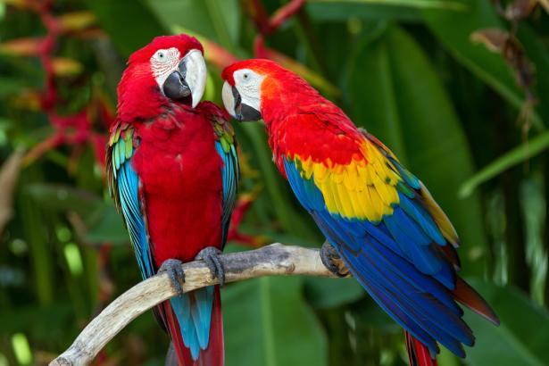 Фотообои попугаи ара беседа (animals-0000485)