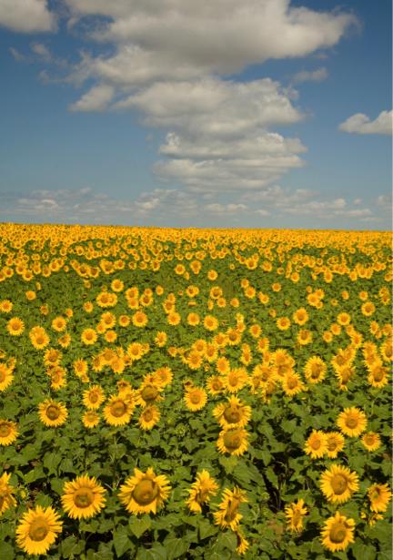 Фотообои на стену -  Поле подсолнухов (flowers-0000180)