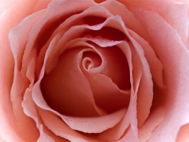 Кремовая роза обои на стену (flowers-0000262)