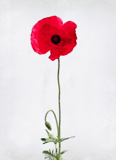 Фотообои на стену цветок - мак (flowers-0000290)