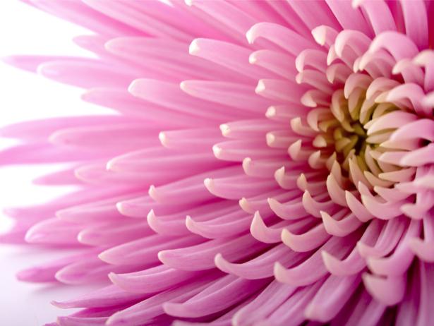 Фото обои цветок Хризантема (flowers-0000486)