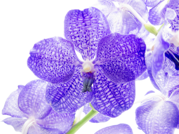 Обои фото цветок синяя орхидея (flowers-0000564)