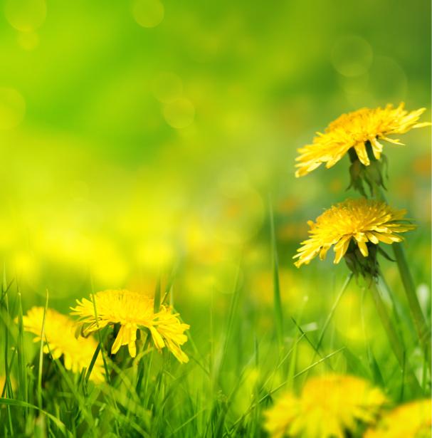 Комнатные обои желтые одуванчики (flowers-0000585)