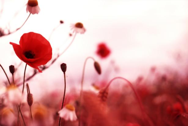 Фото обои для стен красные маки (flowers-0000601)