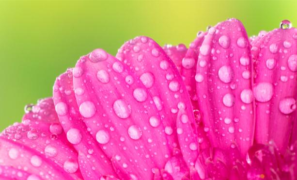 Фото обои на стену розовые липестки (flowers-0000658)