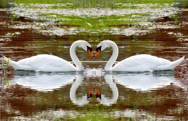 Фотообои с лебедями (animals-0000138)