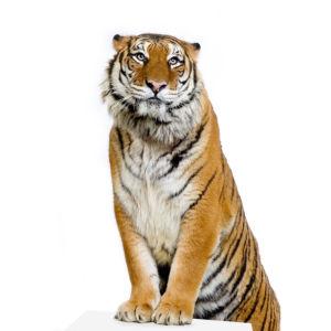 Фотообои на белом фоне тигр (animals-0000250)