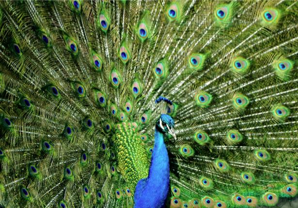 Фотообои зеленый Павлин (animals-0000402)