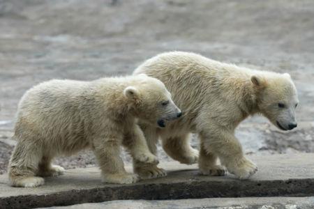 Фотообои пара белых медвежат (animals-0000506)
