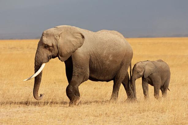 Фотообои Слон и слоненок (animals-546)