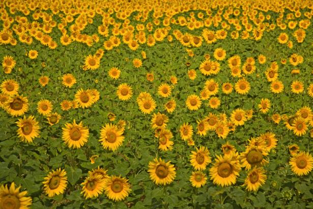 Фотообои на стену -  Поле подсолнухов (flowers-0000182)