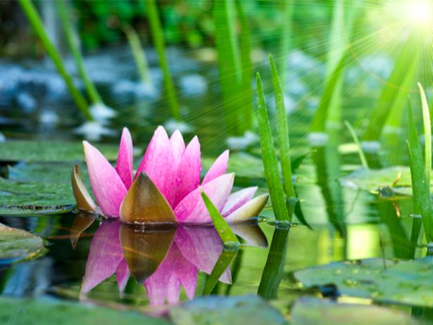 Фотообои на стену цветок - Водяная лилия (flowers-0000310)