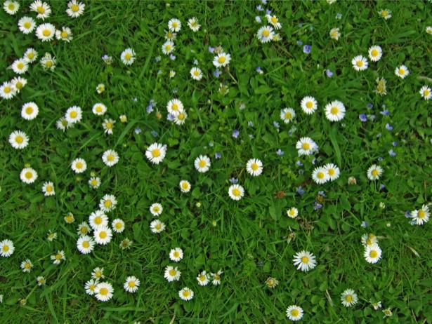 Фото обои Трава и маргаритки (flowers-0000461)
