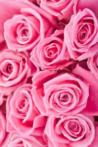 Фото обои цветы розовые розы (flowers-0000502)