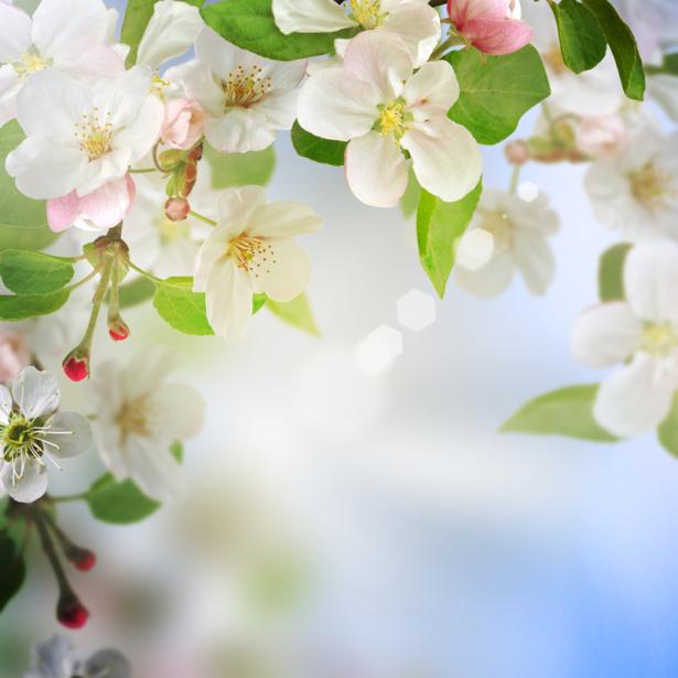 Цветочные обои цветущее дерево (flowers-0000630)