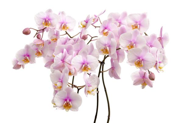 Фотообои Букет орхидей (flowers-798)