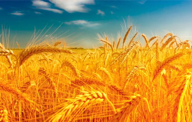 Фотообои красивая пшеница в поле (nature-00331)