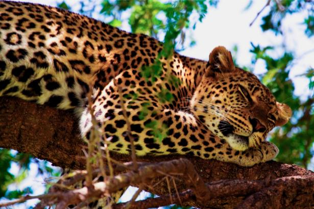 Фотообои спящий леопард (animals-0000021)
