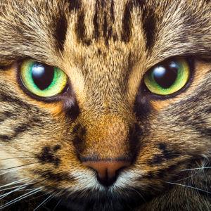 Фотообои кошачьи глаза кот, кошка (animals-0000169)