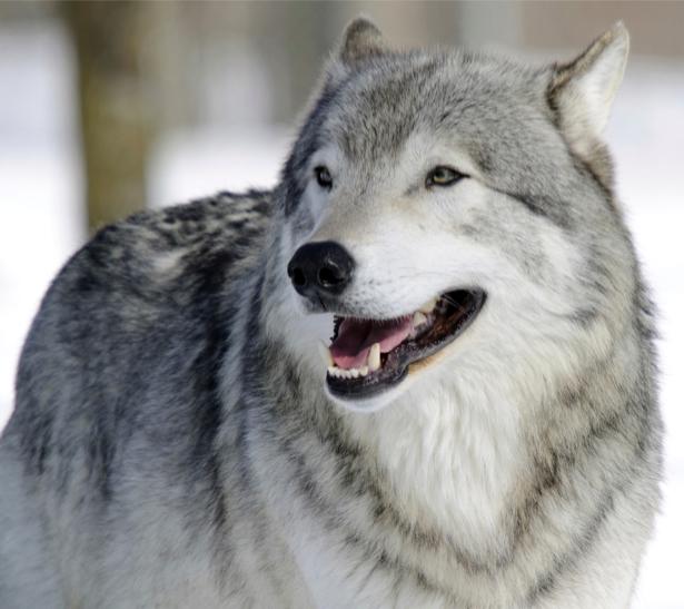 Фотообои волк в природе (animals-0000223)