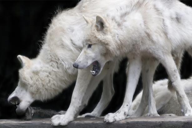 Фотообои Белый волк (animals-0000422)