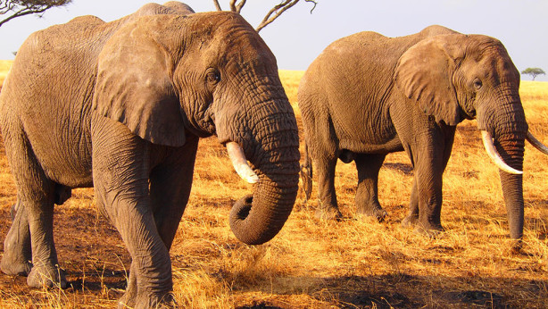 Фотообои Два слона (animals-545)
