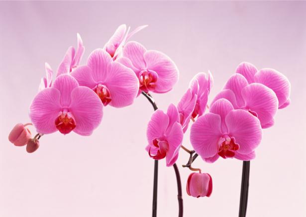 Фотообои на стену цветы орхидея (flowers-0000028)