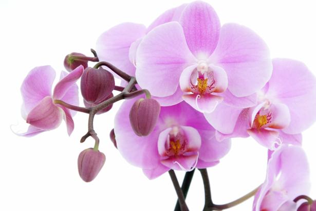 Розовая орхидея Фотообои на стену цветы (flowers-0000030)