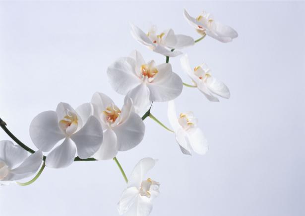 Белая орхидея фотообои фото (flowers-0000055)