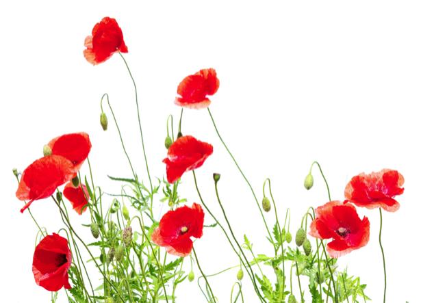 Обои фото цветы Полевые маки на белом фоне (flowers-0000154)