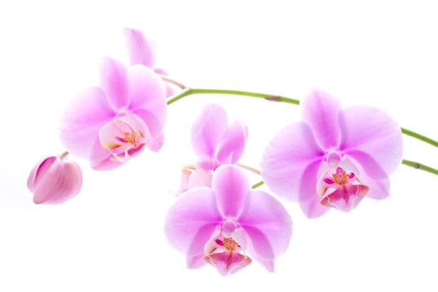 Фото обои Ветка розовой орхидеи (flowers-0000299)