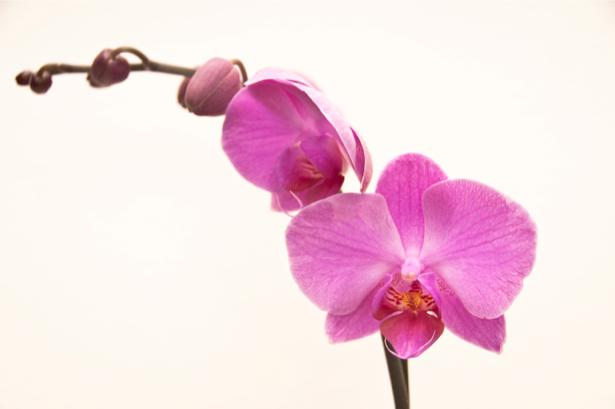 Фото обои Ветка розовой орхидеи (flowers-0000304)