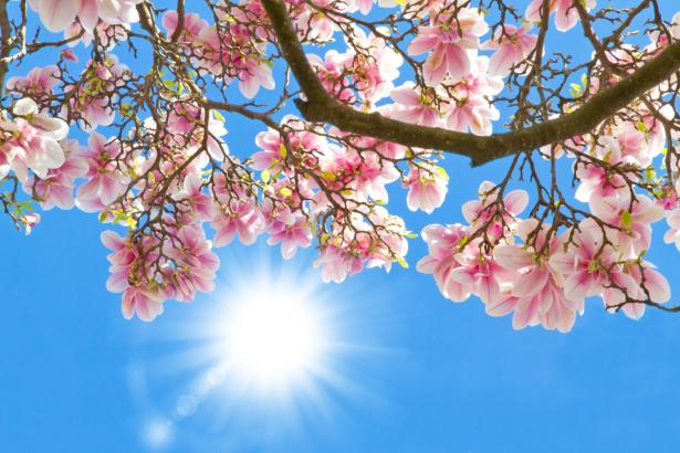 Обои фото цветы розовая магнолия (flowers-0000626)