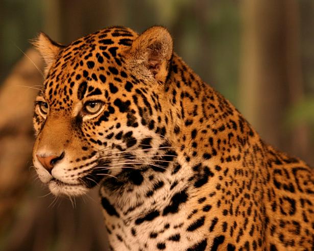 Фотообои ягуар пятнистый (animals-0000090)