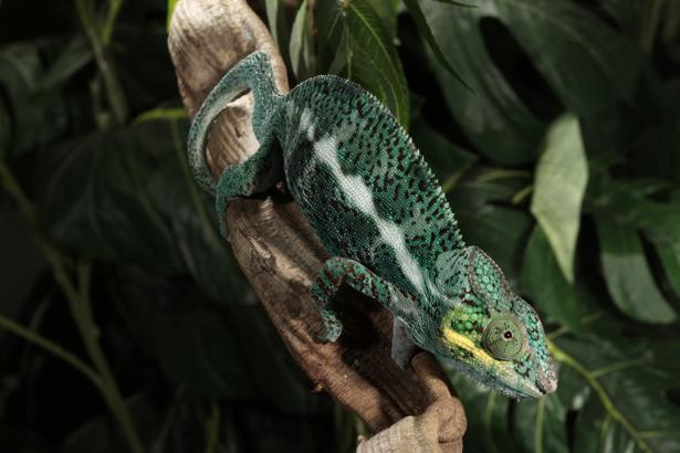 Фотообои хамелеон в листве (animals-0000293)