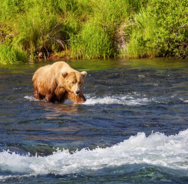 Фотообои Медведь на охоте (animals-0000440)