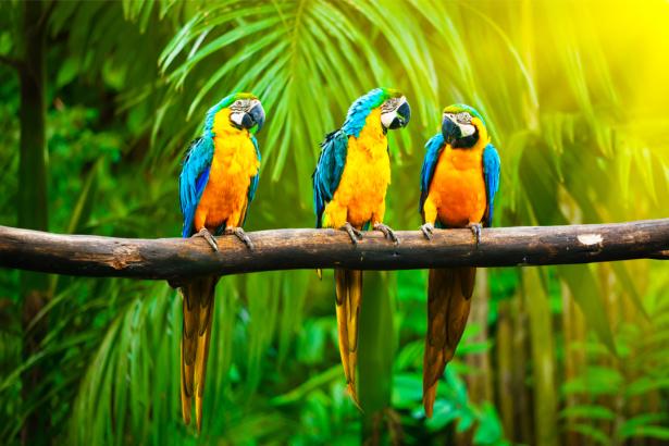 Фотообои трио попугаи ара (animals-0000484)