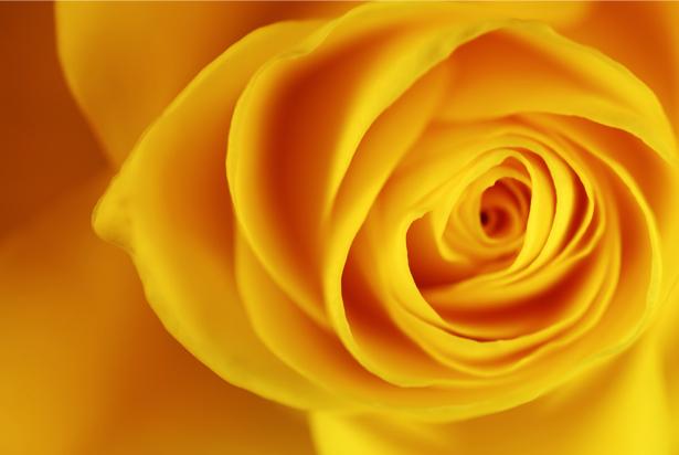 Желтая роза фотообои цветы на стену фото (flowers-0000087)